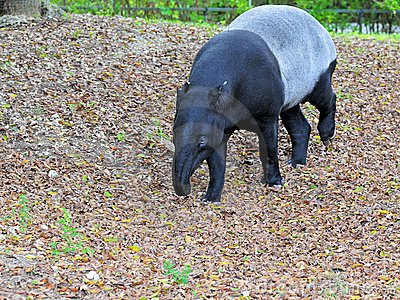 Largest Species of Tapir