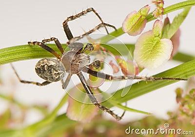 Larinioides sclopetarius - male