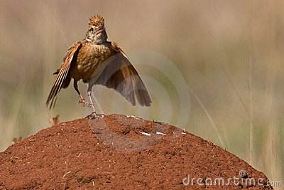 Lark naped rufous