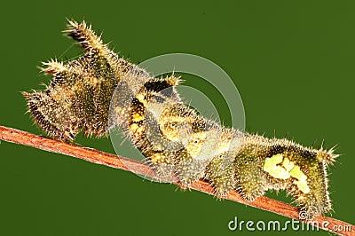 Larva of butterfly, Neptis hylas