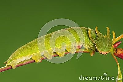 Larva of butterfly, Polyura narcaea