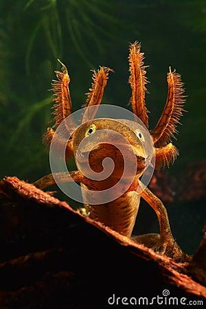 Larva crested newt amphibian water salamander