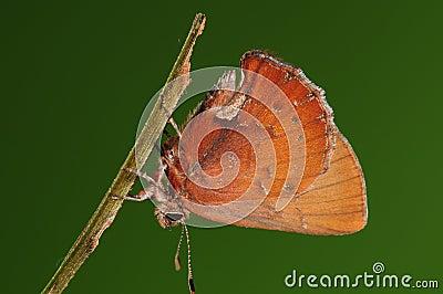 Larva on twig, Ahlbergia Nicévillei