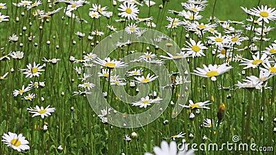 Las flores de la manzanilla se cierran para arriba Naturaleza del verano, campos de flor, prado de la flor salvaje, botánica y bi almacen de video