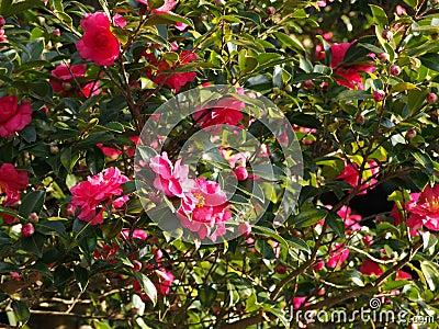 Las flores son sasanqua floreciente