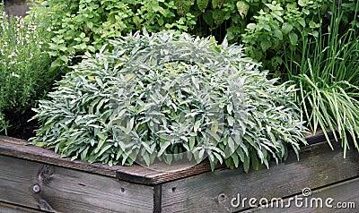 Las hierbas plantan en la cama aumentada del jardín