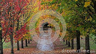 Las hojas coloridas de la caída del otoño de los árboles de arce altos alineados a lo largo de la calle en parque enfocan hacia f metrajes