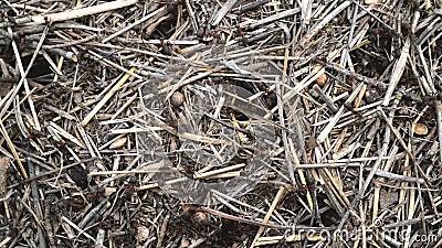 Las hormigas grandes se mueven rápidamente en la superficie de la paja almacen de metraje de vídeo