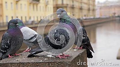 Las palomas de pájaros curados están descansando y limpiando plumas en tiempo de vida en la ciudad almacen de metraje de vídeo