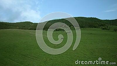 Las vacas pastan en el prado metrajes