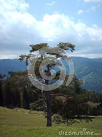 Lasowy drzewo