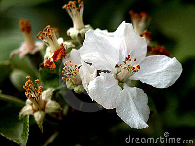 Last appletree´s flower