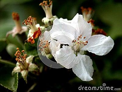 Last appletree´s flower