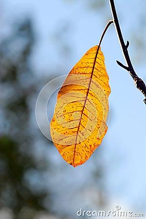 Free Last Autumn Leaf Royalty Free Stock Photo - 3645495