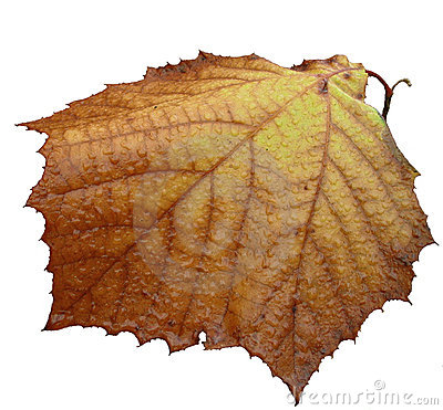 Last fall leaf isolated