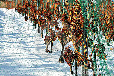Late grape harvest in snow