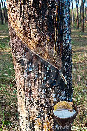 Latex from a rubber tree