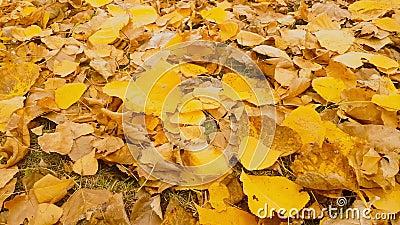 Latifoglia con moto giallastro delle foglie archivi video