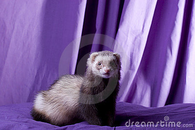 Latte the Ferret