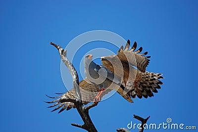 Lattensingenhühnerhabicht (Melierax canorus)