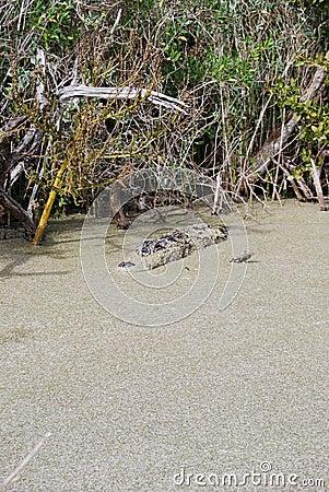 Lauern im Sumpf