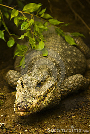 Lauerndes Krokodil