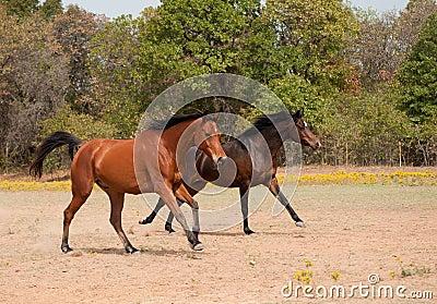 Laufen mit zwei Pferden in der Weide