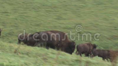 Laufende Bisone stock video footage