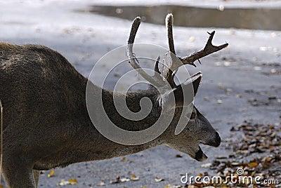 Laughing Deer