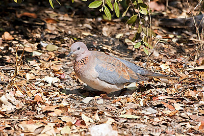 Laughing dove walking on dead leaves