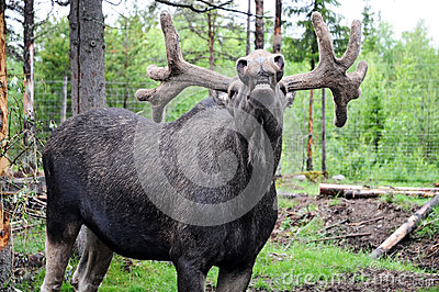 Laughing elk