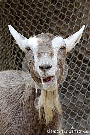 Goat Laughing