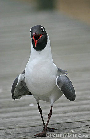 Free Laughing Gull Royalty Free Stock Photos - 1263348