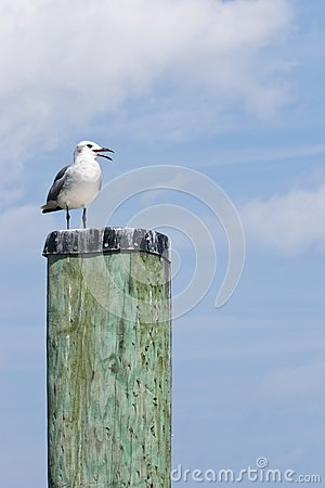 Laughing Gull on a Capped Pile