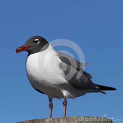 Free Laughing Gull, Clearwater, Florida Stock Photos - 90586573