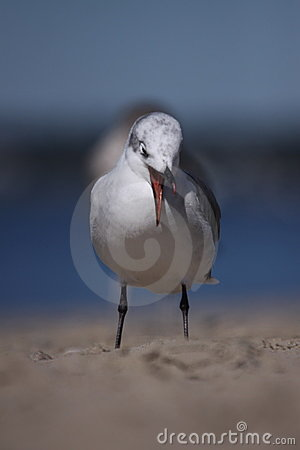 Free Laughing Gull Coughing Stock Images - 13134384