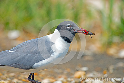 Laughing Gull With Crab