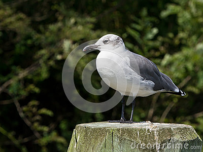 Laughing Gull with a Dark Green Backgroun