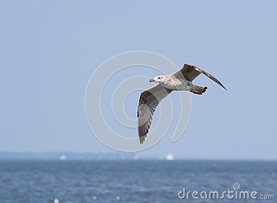 Laughing Gull in Flight over Water