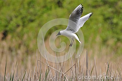 Laughing gull landing on its nest