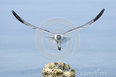 Laughing gull, larus atricilla