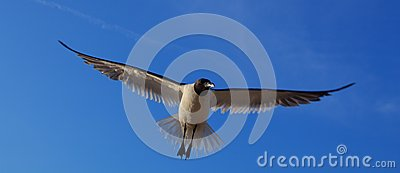 Laughing gull, Leucophaeus atricilla, in flight
