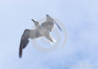 Laughing Gull Overflight