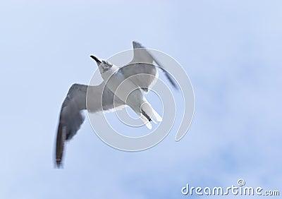 Laughing Gull Overflight