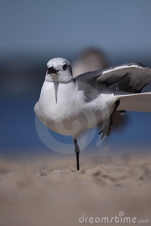 Free Laughing Gull Stretching Royalty Free Stock Image - 13134386