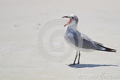 Laughing Gull Winter Plumage