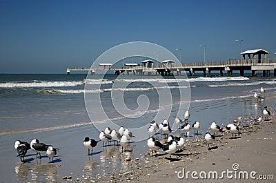 Laughing Gulls (Larus atricilla) and fishing pier