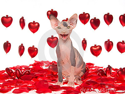 Laughing hairless Sphynx kitten with red hearts