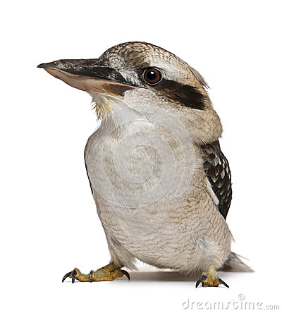 Free Laughing Kookaburra Stock Image - 24708781