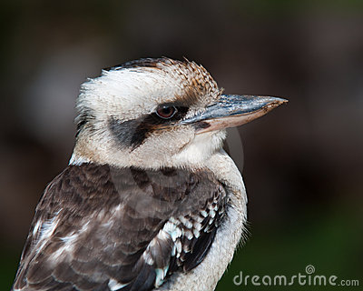 Laughing Kookaburra - Profile